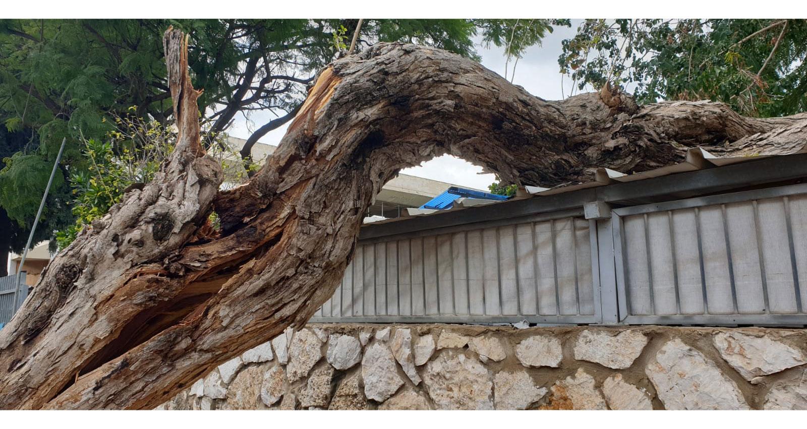 עץ קרס על מחסן במעון ילדים בהרצליה. מזג האוויר 17.02.2021
